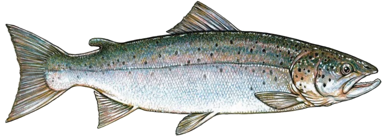atlantic-salmon-illustration